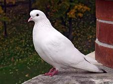Белый голубь сонник значения