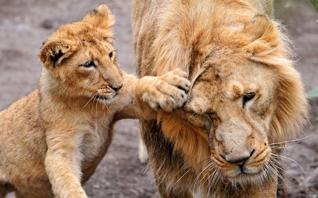 Ваш Сонник. Сонник Лев. К чему снится лев