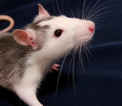 Сонник видеть как убивают крысу