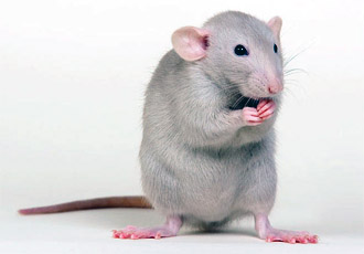 Сонник крыса К чему снятся крысы во сне