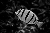 Сонник миллера аквариумные рыбки