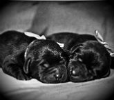 Сон черные щенки василина серова сонник
